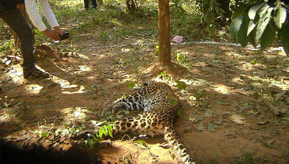 Four-year-old female leopard found dead in Yeoor forest
